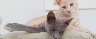 Kreetan kissat